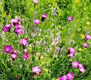 Carthusian Pink and wild thime